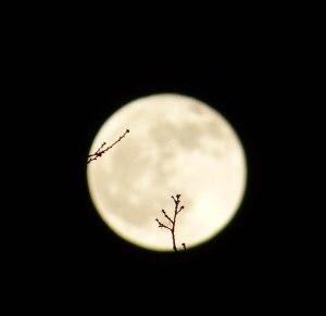 Knospen vor dem Mond
