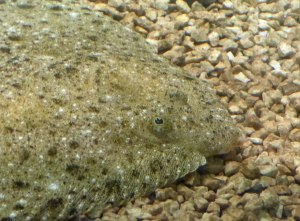 Drøbak Aquarium: Heilbutt (fals nicht Richtig bitte ich um Verbesserung, bin nicht mehr ganz sicher welcher was ist.)