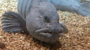 Drøbak Aquarium: Seewolf