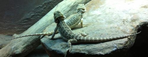 Geckos - halbwegs artgerecht (nur wieder zu klein)