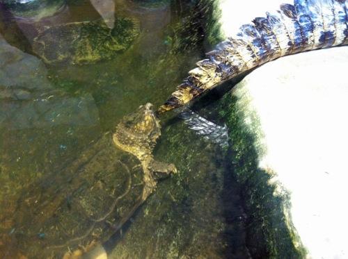 Schnappschildkröte und ...