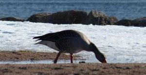 weitere Gäste auf der Insel: Wildgänse