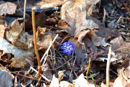 Der erste Frühlingsbote ...
