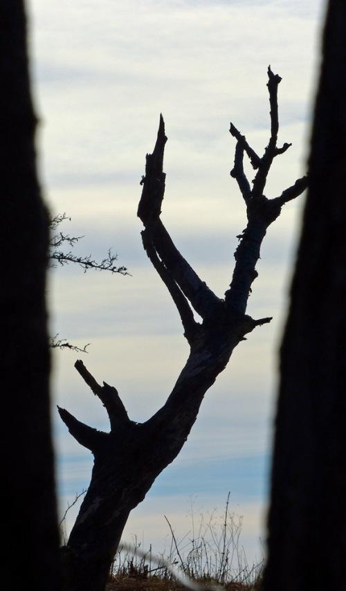 Baum durch Bäume - oder: Auch tote Natur kann noch faszinieren.