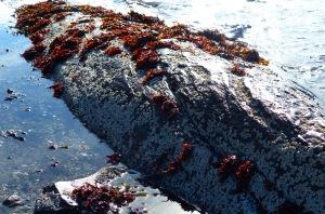 Seetang (oder so) und Seepocken im Ebbe-Flut-Bereich