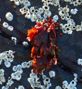 Seepocken und Seetang