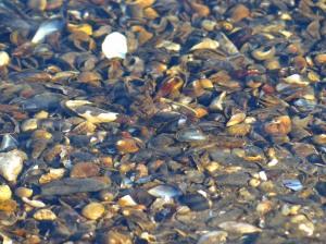 Diese Muscheln sind nur noch schön anzusehen. Wie ca. Millionen weitere hier am Strand....