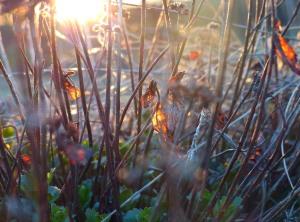 Die Sonne läßt die vertrockneten Pflanzen des letzten Jahres erleuchten.
