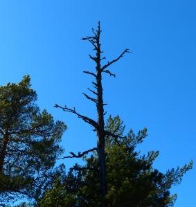 Tote Bæume fallen irgendwann von selber um und verleihen dem Wald etwas urtuemliches. Bis dahin sind sie ein Prima Fotomotiv