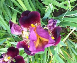 Schwertlilie mit schönem Lila Farbton