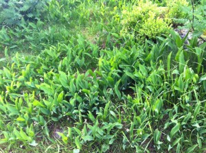 Maiglöckchen wachsen hier auch in rauhen Mengen (für dich liebe Mutter!)