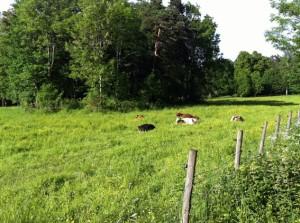 Bygdøy-Ausflug: glückliche Kühe