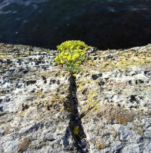 Bygdøy-Ausflug: Mauerpfeffer am Fjord