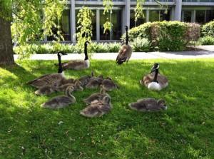 ... und auch bei den Familien Wildgans hat sich der Nachwuchs entwickelt (siehe letztes Bild, 2 Wochen Unterschied)