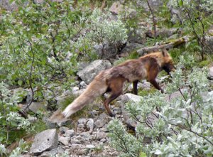 Fuchs im Fjell