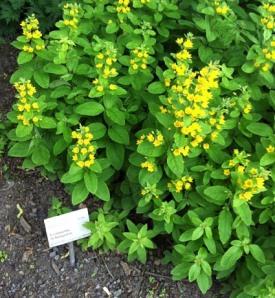 Die wachsen auch bei uns im Garten in Buchbrunn