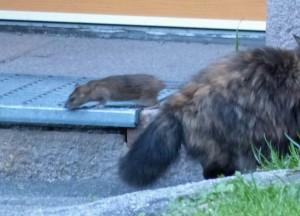 Das Schauspiel am Abend: Katze gegen Ratte (oder umgekehrt) am Haus gegenüber.
