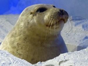 Ausgestopftes Futter - Verzeihung: Seehund - eine wichtige Nahrungsquelle für die Polarfahrer