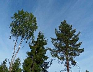 Umgeben von hohen, schönen Birken, Tannen und Kiefern...