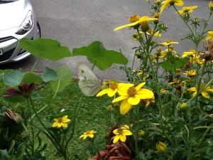 Einer der wenigen Schmetterlinge die ich hier gesehen habe bisher.
