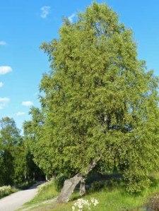 Betula Pendula - Birke
