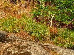 Blaubeeren und Preiselbeeren im Unterholz