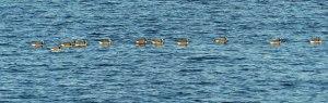Es hat etwas gedauert bis ich erkannte was da in Reih und Glied auf dem Fjord schwimmt:...
