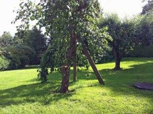 Alter Zwetschgenbaum mit gutem Ertrag...