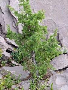 Wachholderbaum(chen) (Hier sind die Wacholderbeeren her, liebe Mutter)