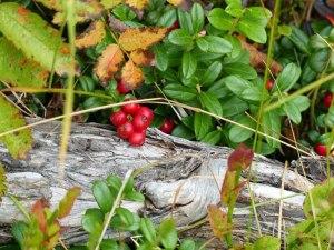 Stilleben mit Preiselbeeren (Tyttebær)