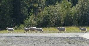 Die Schafe laufen hier frei herum - norwegische Almen!