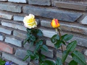 Rosenbluete im Oktober