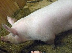 Tiere im Stall: Eine RIESEN-Sau-erei (ungelogen war das Schwein über 150m lang!!) ...