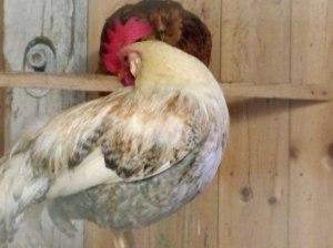 ... und Hühner.
