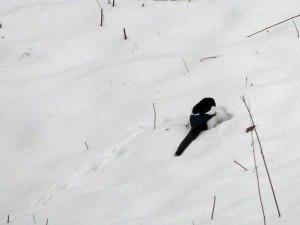 und ne Dohle die sich Futter unterm Schnee sucht.