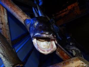 """... Daher der Name """"Stockfisch""""."""