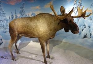 ... Elch im Holmenkollenmuseum.