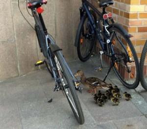 Morgens nach dem Nachtdienst hat mich diese verængstigte Entenmama mit 10 Kueken nicht an mein Fahrrad gelassen...